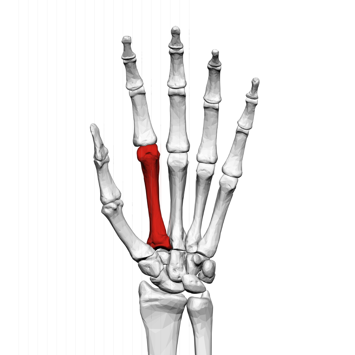 Second metacarpal bone - Wikipedia