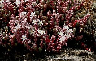 Sedum-album-flower.JPG