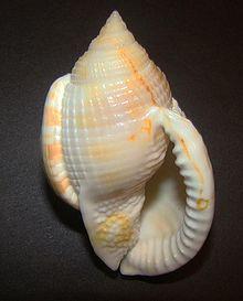 Varix (mollusc)