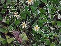 Senecio macroglossus B.jpg