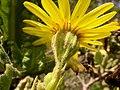 Senecio planiflorus DSCN9297.jpg