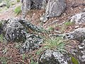 Sesleria caerulea (s. str.) sl8.jpg