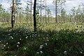 Sestroretsk swamp 2020-06-07-4.jpg