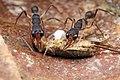 Shattuck 54156, Harpegnathos, Danum Valley, Sabah-web (5042359309) (2).jpg