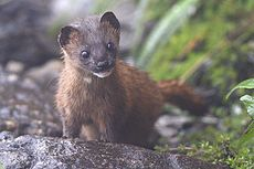 Siberian Weasel Pangolakha Wildlife Sanctuary East Sikkim India 14.05.2016.jpg