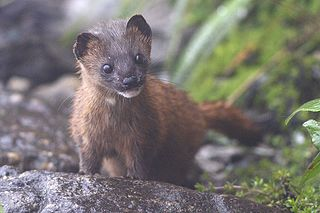 Siberian weasel species of mammal