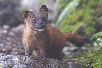 Siberian weasel - In summer coat from Pangolakha Wildlife Sanctuary, India.