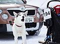 Siberian husky F400 (8439508372).jpg