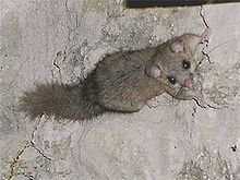 Edible Dormouse Simple English Wikipedia The Free