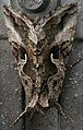 Silver Y Moth.jpg