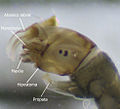 Simuliidae cabeza.jpg