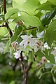 Sinojackia xylocarpa fleurs.jpg