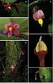 Sirdavidia solannona Couvreur & Sauquet.jpg