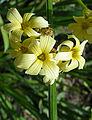 Sisyrinchium striatum (8465012425).jpg