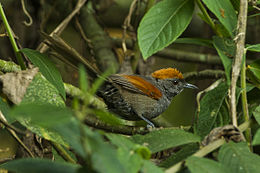 Slaty Spinetail - Colombia S4E0885.jpg