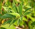 Slender Duetzia Duetzia gracilis 'Nikko' Leaves 1963px.jpg