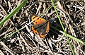 Small Copper Butterfly - geograph.org.uk - 247919.jpg