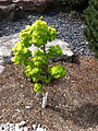 Small maple tree in the Genevieve Green Gardens at the Ewing Cultural Center.jpg