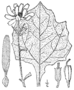 Smallanthus uvedalia BB-1913.png