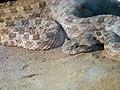 Snakes of iran مارها در ایران 04.jpg