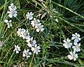 Sneezewort (Achillea ptarmica) - Oslo, Norway 2020-08-14.jpg