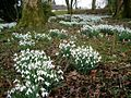 Snowdrops at Lethame House - geograph.org.uk - 345702.jpg