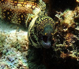 The head of Snowflake moray