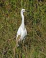 Snowy Egret (Egretta thula) (28776967486).jpg