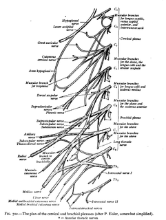 Cervical spinal nerve 5
