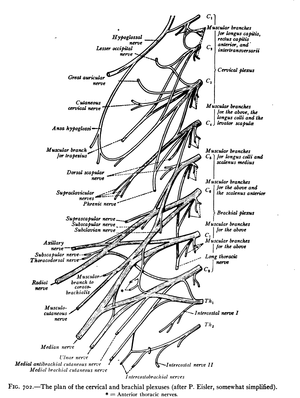 Cervical spinal nerve 5 - The plan of the cervical and brachial plexuses.