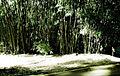 Sobrevivência de um bambuzal.jpg
