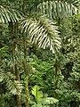 Socratea exorrhiza.jpg