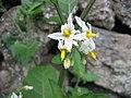 Solanum chenopodioides (Flower).jpg