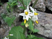 Solanum chenopodioides (Flower)