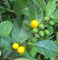 Solanum diphyllum6.jpg