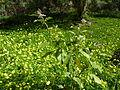 Solanum vespertilio (Jardín Botánico Canario Viera y Clavijo).jpg