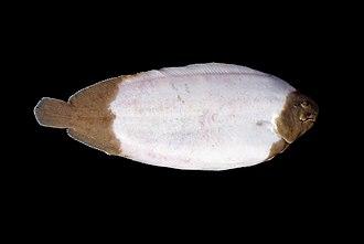 Common sole - Semialbino sole from the North Sea