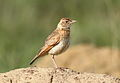 Song and dance routine of the Rufous-naped Lark, Mirafra africana at Rietvlei Nature Reserve, Gauteng, South Africa (15857525720).jpg