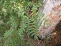 Sorbus americana, Pancake Bay 1.jpg