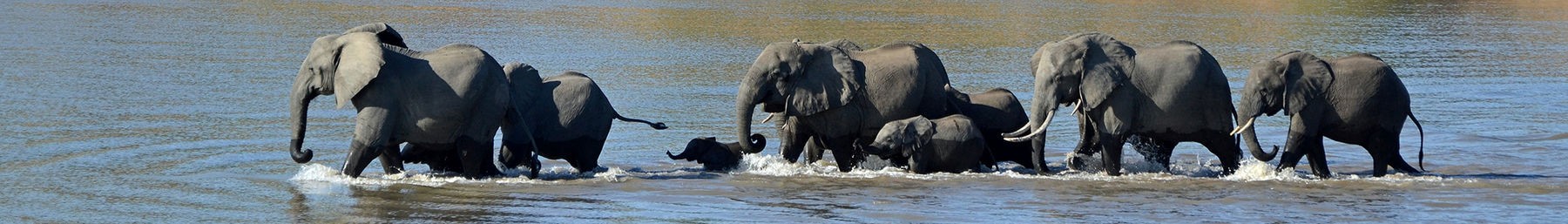 Elephants crossing the Luangwa River