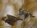 Spanish Sparrow (Passer hispaniolensis) (36270710226).jpg
