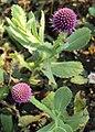 Sphaeranthus indicus 18.JPG