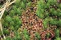 Sphagnum magellanicum (b, 150145-481742) 8435.JPG