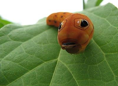 Spicebush swallowtail caterpillar head.jpg