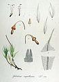 Splachnum ampullaceum — Flora Batava — Volume v14.jpg