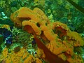 Sponge at Anvil Rock P9300951.jpg