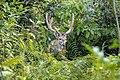 Spotted-Deer-nepal.jpg