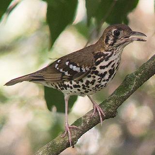Spotted ground thrush species of bird