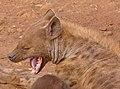 Spotted Hyaena (Crocuta crocuta) female yawning ... (33067626312).jpg