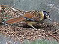 Spotted Laughingthrush, RWD3.jpg